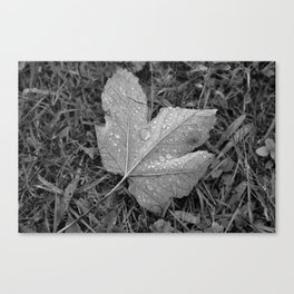 Water drops on leaf maple, black and white photo Canvas Print