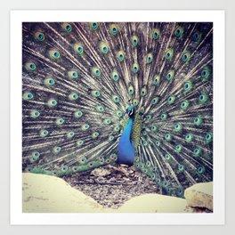 Peacock Beauty  Art Print
