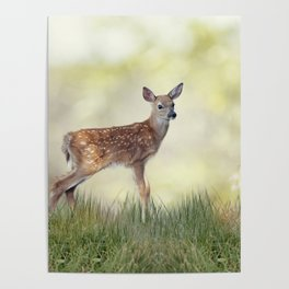 White-tailed deer fawn in grass Poster
