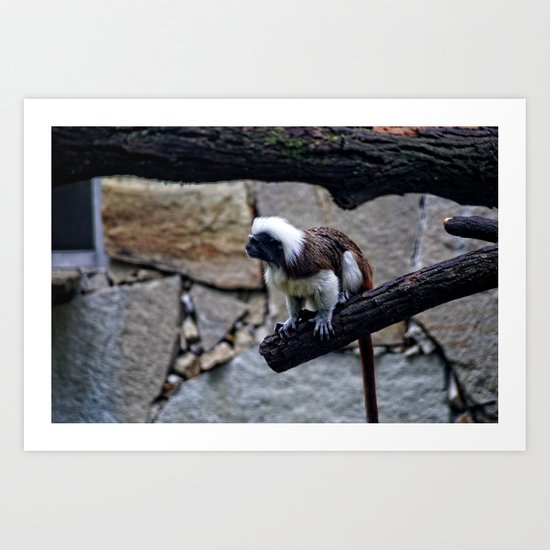 White head monkey at the Zoo Art Print