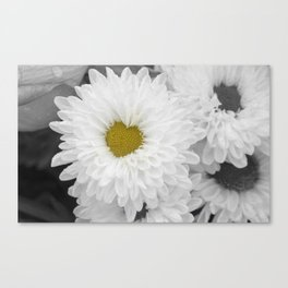 Blooming white chrysanthemum flower with heart shaped center. Selective Color. Canvas Print