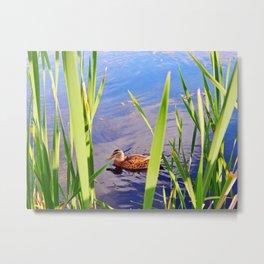 Duck Through the Reeds Metal Print