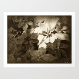 Mixed color Poinsettias 1 Antiqued Art Print