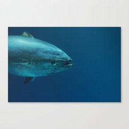 Bluefin Canvas Print