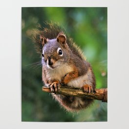 Who, Me? A Saucy Red Squirrel Poster