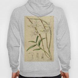 Dendrobium moniliforme (as Dendrobium japonicum) Curtis' 90 (Ser. 3 no. 20) pl. 5482 (1864) Hoody