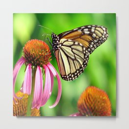 Spotted Butterfly on Cone Flower Metal Print
