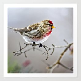Winter Redpoll Bird Art Print