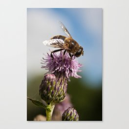Thistle Hoverfly Canvas Print