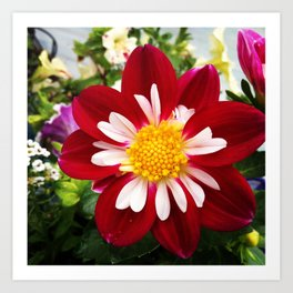 Lovely Dahlia Art Print