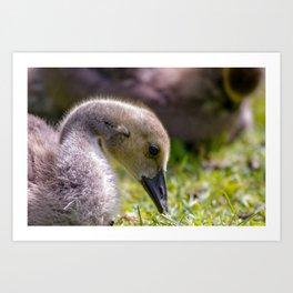 baby gosling (canada goose) Art Print
