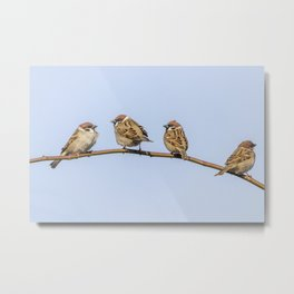Tree Sparrows on branch (Passer montanus) Close Up Metal Print