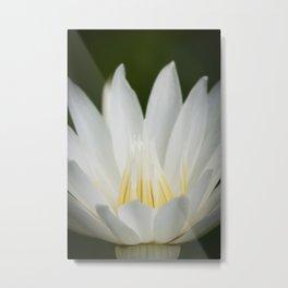 White & yellow Water Lily Metal Print