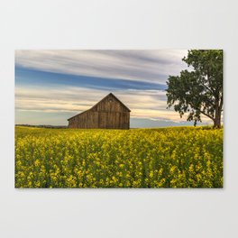 Dazzling Canola in Bloom Canvas Print
