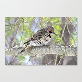 Northern Flicker Showing His Colors Canvas Print