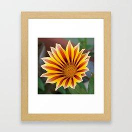 Single Flower Close Up Gazania Red Stripe Framed Art Print
