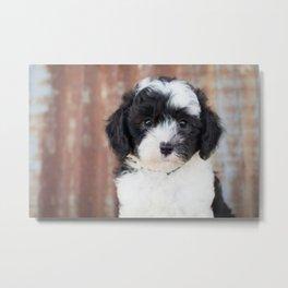 Sheepadoodle Dog Puppy Metal Print