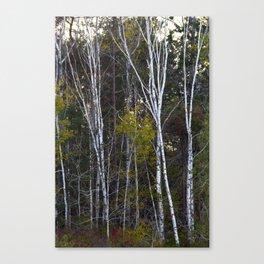 Maine Birches 2 Canvas Print