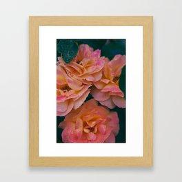 Point defiance rose garden on a rainy day Framed Art Print