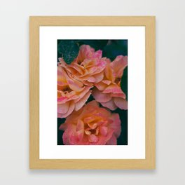 Point defiance rose garden on a rainy day Framed Art Print