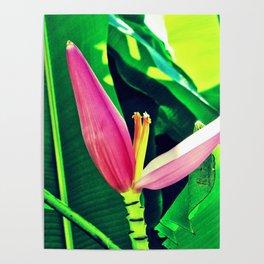 Banana Flower (Musa velutina) Poster