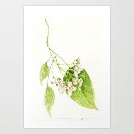 Catalpa Blossom 2017 Art Print