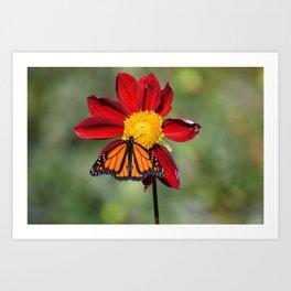Monarch Butterfly on Red Flower Art Print