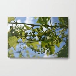 Grapevine buds against a beautiful sky Metal Print
