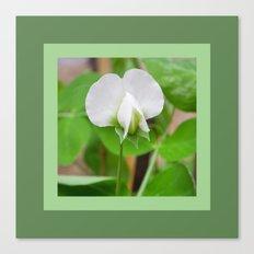 White Pea Blossom Canvas Print