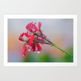 Red pelargonium flower Art Print