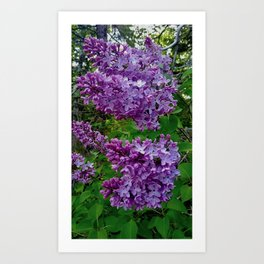 Lilacs in Bloom Art Print