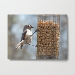 Tufted titmouse lunch Metal Print