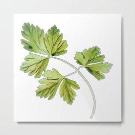 Parsley garden flowering plant Apiaceae native naturalized herb Metal Print
