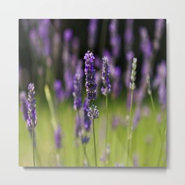 Field of Lavender Metal Print