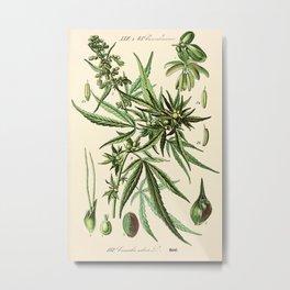 Cannabis Sativa - Vintage botanical illustration Metal Print
