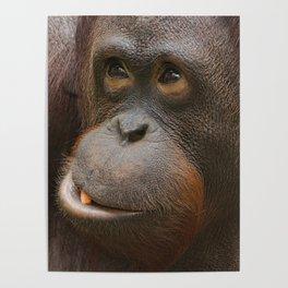 Orangutan Face Poster