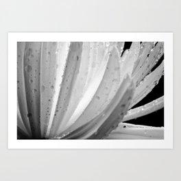Chrysanthemum Cosmos Art Print