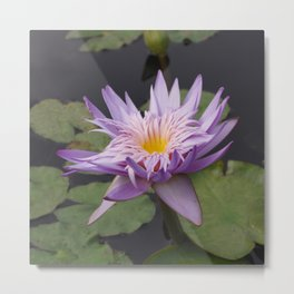 Rosy lavender water lily Metal Print