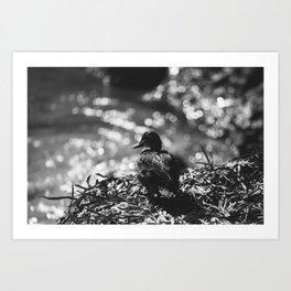 Duck contemplation Art Print