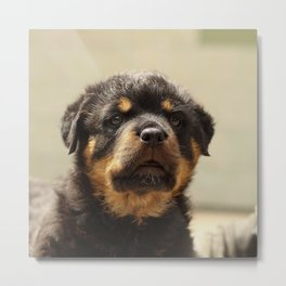 Rottweiler20150903 Metal Print