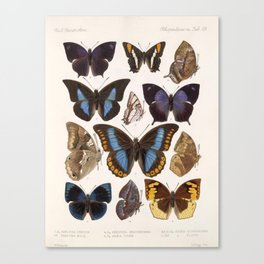Vintage Scientific Insect Butterfly Moth Biological Hand Drawn Species Art Illustration Canvas Print