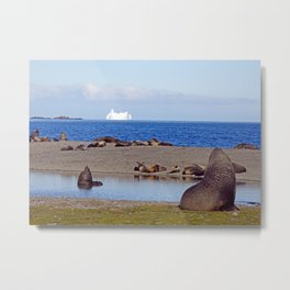 Fur seals with iceberg in the distance Metal Print