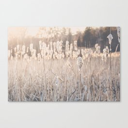 Cat Tails in the Evening Canvas Print