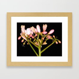 Flowering Pink Jatropha Framed Art Print