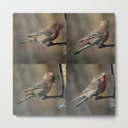House Finches Dating Metal Print