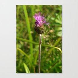 Carduus acanthoides plant, Dolomiti mountains, Italy I Canvas Print
