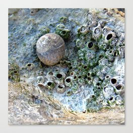 Nacre rock with sea snail Canvas Print