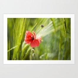 Poppies in the cornfield Art Print