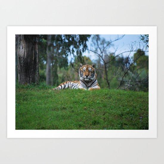 Tiger Staring Me Down - Safari Art Print