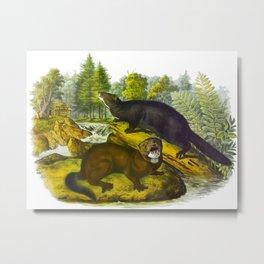 Mink Vintage Scientific Animal Nature Illustration Metal Print